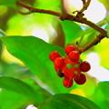 写真: ビナンカズラの赤い実