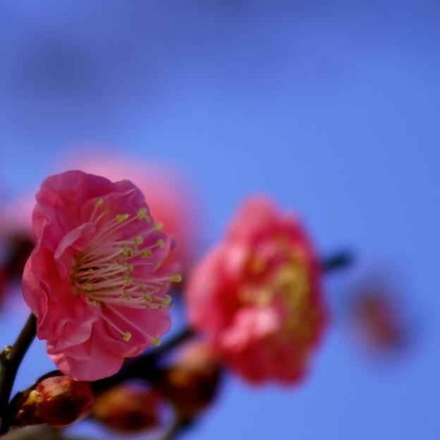 紅梅が咲く
