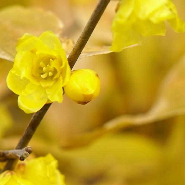 ロウバイが咲く