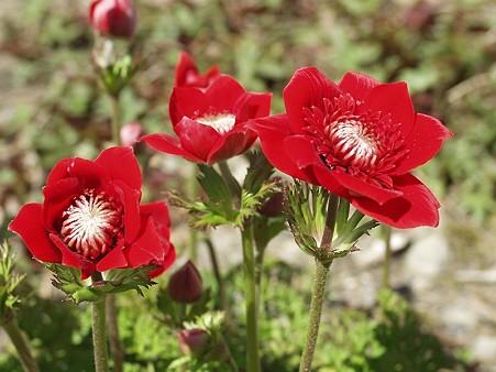 アネモネ・anemone