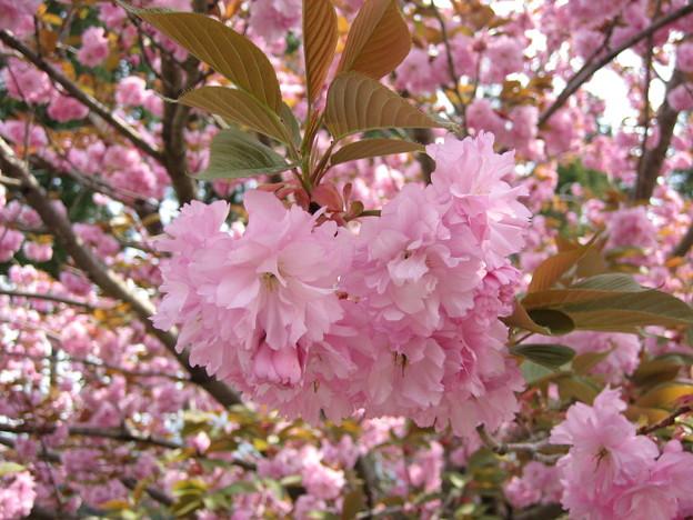 写真: やえざくら・八重桜