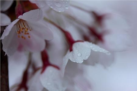 SAKURA〜雨の雫〜