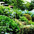 写真: 善峯寺護摩堂と紫陽花