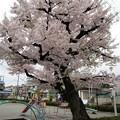 写真: 公園の桜