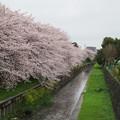 写真: 桜と菜の花