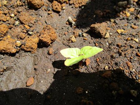 落ち種から発芽した朝顔ちゃん