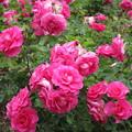 写真: ピンクバラ