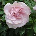 写真: 薄ピンクバラ