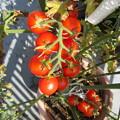 たわわなミニトマト