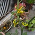 ミニトマトの花がまだ咲く