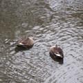 Photos: 2羽の鴨さん