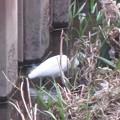 Photos: シラサギさん、隠れているよ
