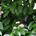 庭に来るクロアゲハ メス