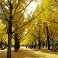 写真: 県庁のイチョウ並木