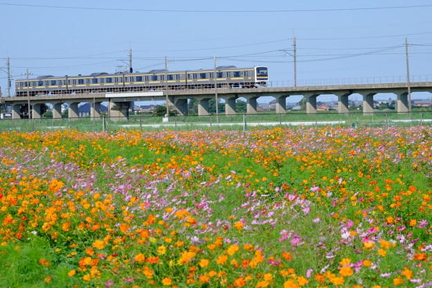 与田浦のコスモス畑