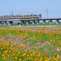 写真: 与田浦のコスモス畑