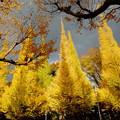 Photos: 神宮外苑いちょう並木