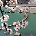 サークルの桜
