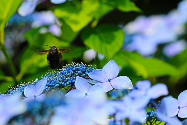 紫陽花とくまんばち