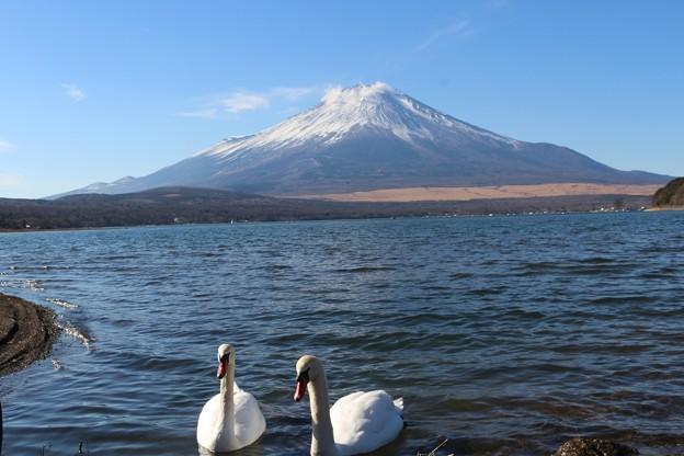 写真: 富士山と白鳥コラボ