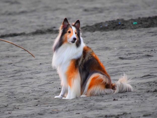 お散歩ワンコ@湘南・鵠沼海岸 #湘南 #藤沢 #海 #波 #wave #surfing #mysky #dog #animal #犬