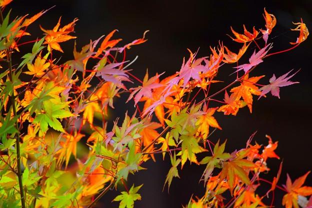 英勝寺の紅葉 #湘南 #鎌倉 #kamakura #寺 #花 #flower