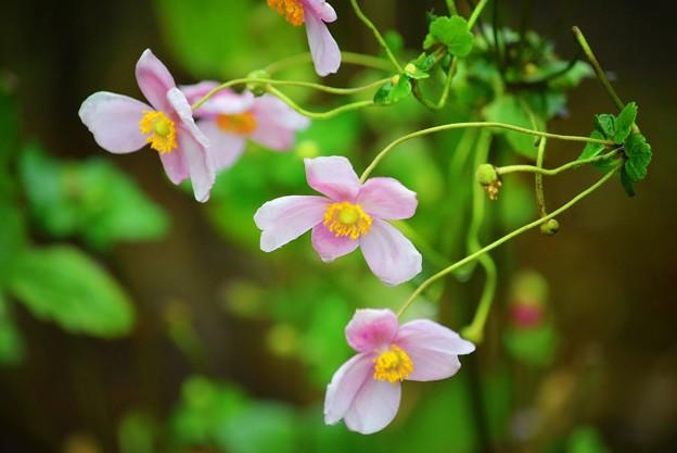 長谷寺の秋明菊 #湘南 #鎌倉 #kamakura #寺 #花 #flower
