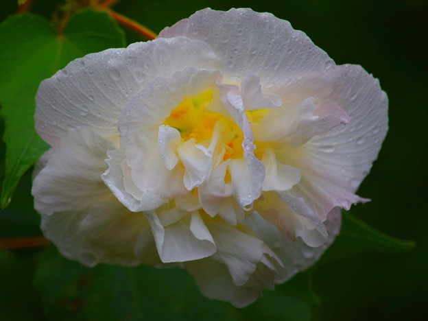 名残の酔芙蓉@長谷寺 #湘南 #鎌倉 #kamakura #寺 #花 #flower