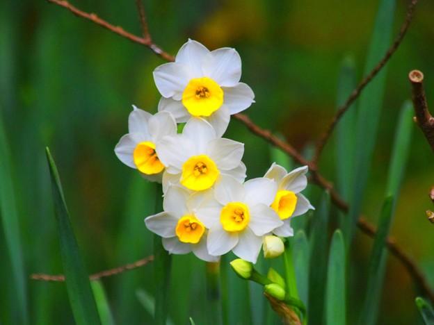 明月院の水仙 #湘南 #鎌倉 #kamakura #寺 #temple #花 #flower