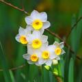 写真: 明月院の水仙 #湘南 #鎌倉 #kamakura #寺 #temple #花 #flower
