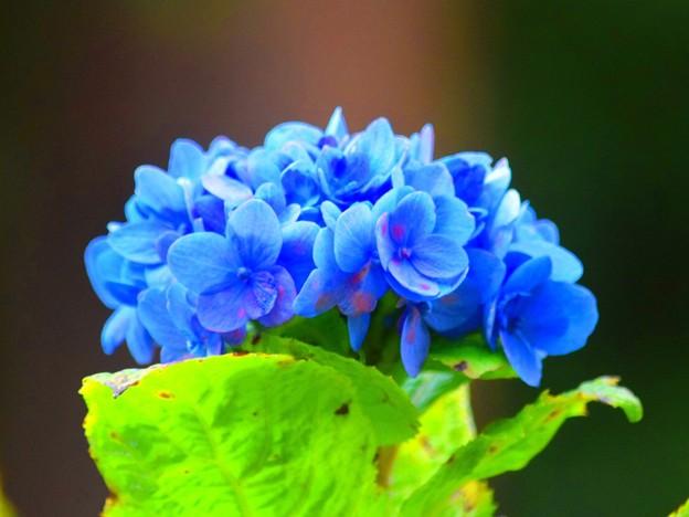 季節はずれの紫陽花@明月院 #湘南 #鎌倉 #kamakura #寺 #temple #紫陽花 #花 #flower