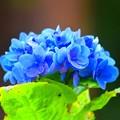 写真: 季節はずれの紫陽花@明月院 #湘南 #鎌倉 #kamakura #寺 #temple #紫陽花 #花 #flower