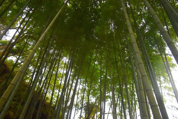 明月院の竹林 #湘南 #鎌倉 #kamakura #寺 #temple #竹林