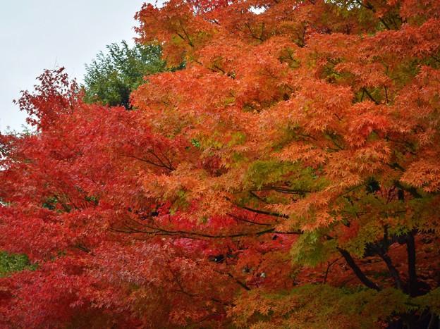 円覚寺の紅葉 #鎌倉 #kamakura #北鎌倉 #寺 #temple #紅葉 #autumnleaves