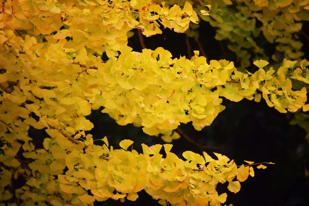 銀杏の黄葉 #鎌倉 #kamakura #北鎌倉 #寺 #temple #紅葉 #autumnleaves