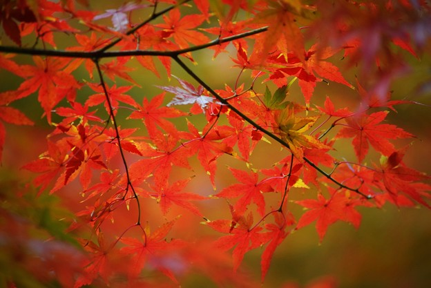 見頃を迎えた円覚寺の紅葉 #鎌倉 #kamakura #北鎌倉 #寺 #temple #紅葉 #autumnleaves