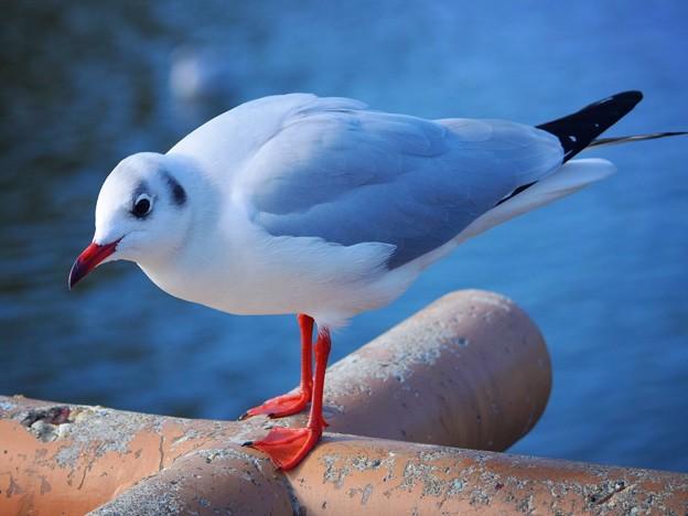 源平池のユリカモメ #湘南 #鎌倉 #kamakura #japan #mysky #神社 #shrine #鳥 #bird