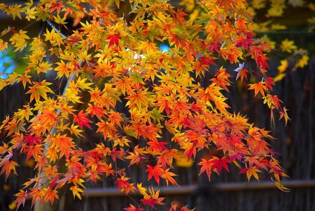 紅葉グラデーション@鶴岡八幡宮 #湘南 #鎌倉 #kamakura #japan #mysky #神社 #shrine #紅葉