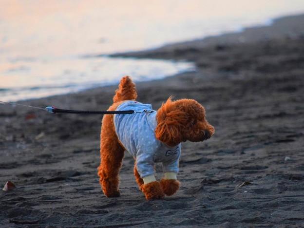 お散歩ワンコ@湘南・鵠沼海岸 #湘南 #藤沢 #海 #波 #wave #surfing #mysky #animal #犬 #dog