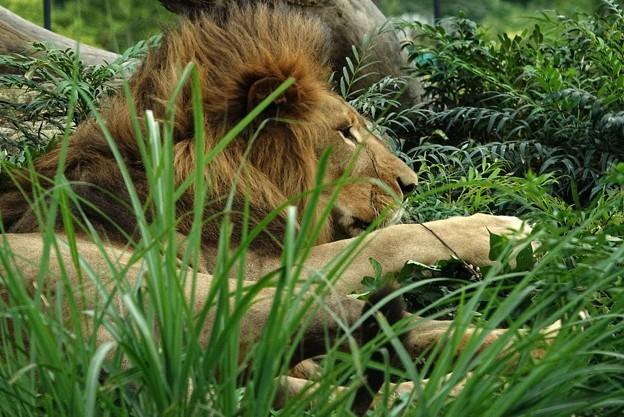 仰向けになって草と戯れてたソラ君。起き上がると、パンク調ヘアスタイルに。@ズーラシア