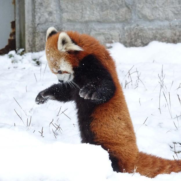 突如、雪に向かって構えるキラ君。@安佐
