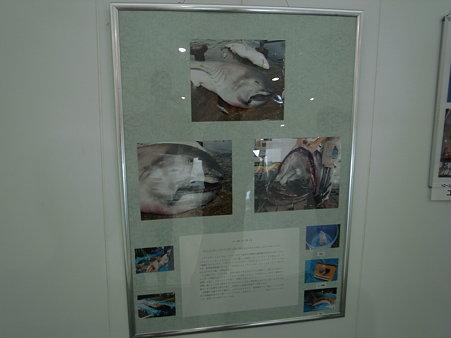 「沼津港水産複合施設INO(イーノ)」に貼られてたメガマウスの記事