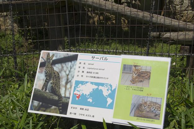 サーバルの紹介看板 [多摩動物公園]