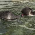 フンボルトペンギン [羽村市動物公園]