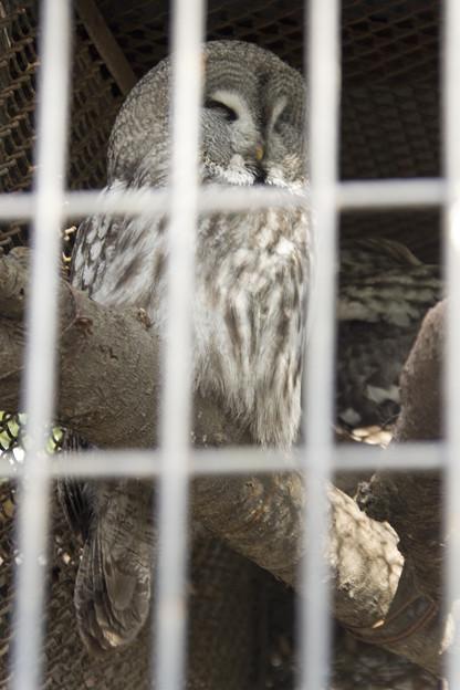 Photos: カラフトフクロウ [羽村市動物公園]