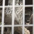カラフトフクロウ [羽村市動物公園]