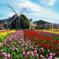 写真: 春のチューリップ