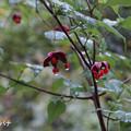 写真: ツリバナ・秋雨3789