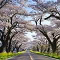 早乙女の桜並木