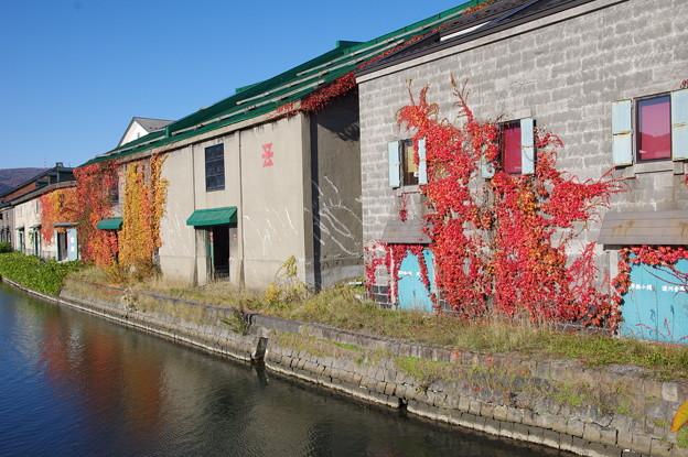 Photos: 運河の蔦紅葉